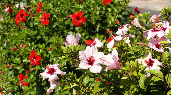 ebegumeci-white-and-red-hibiscus